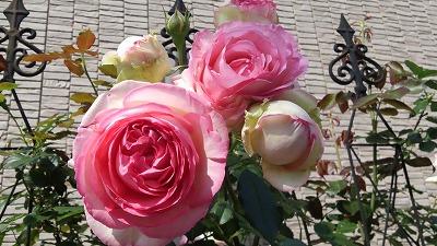 s-ピンクのバラ