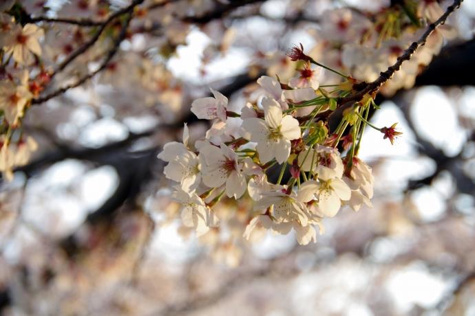 20140408桜1