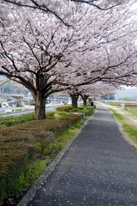 20140408桜2