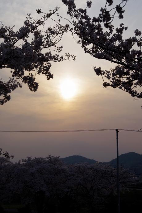 20140408桜6