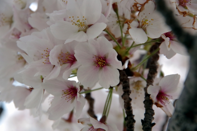 20140408桜3