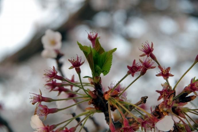 20140408桜4