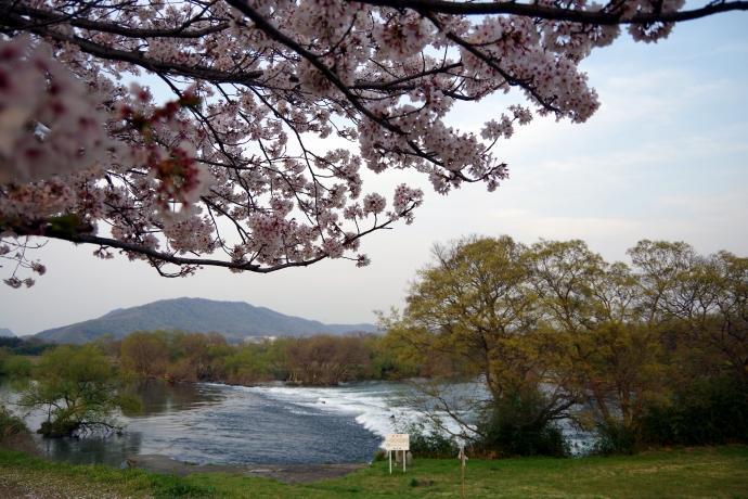 20140408桜5