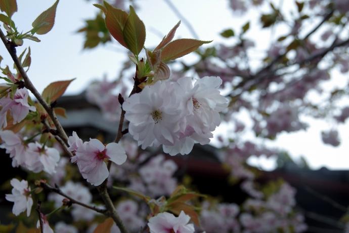 20140415梶ヶ森の花11