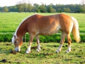 Haflinger_horse_on_pasture_in_the_Netherlands.jpg