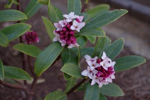 3-7沈丁花