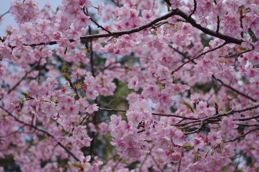 3-14桜満開③