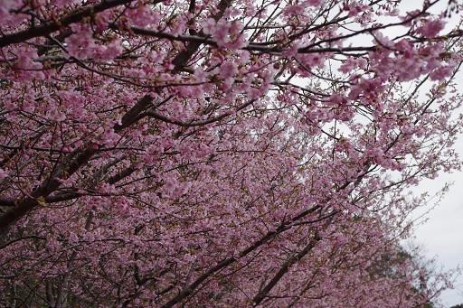 3-14桜満開②