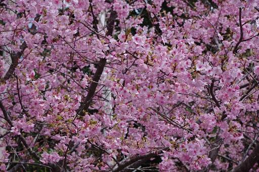 3-14桜満開