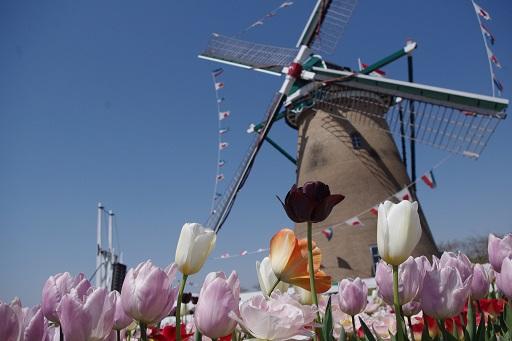 4-18風車をバックに1花
