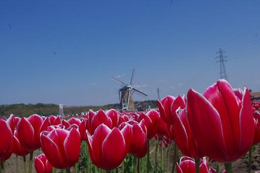 4-18赤いチューリップ花