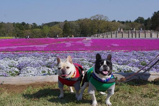 4-18ふるうた芝桜