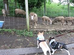 6-14羊にあいさつ