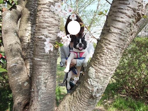ふる太の昔桜