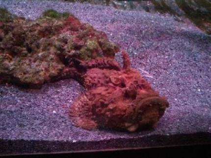 石のような魚