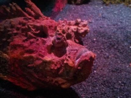 石のような魚2
