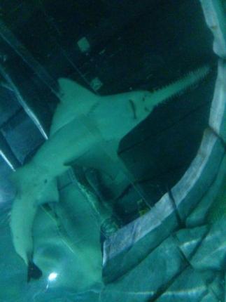 ノコギリサメ