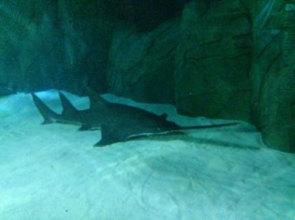 ノコギリサメ2
