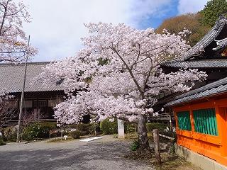 山科毘沙門堂260404 006