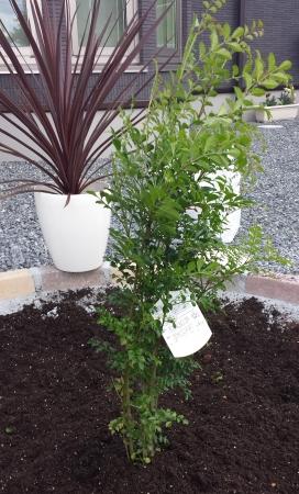 外構の花壇にシマトネリコを植樹しました!冬が心配です
