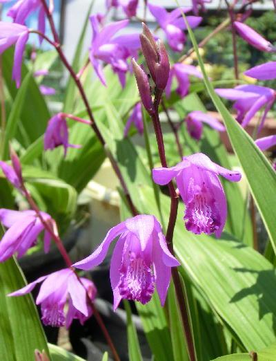 140626-紫蘭-4
