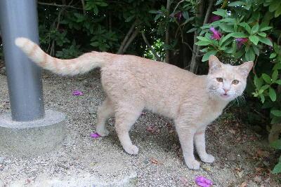 140708-野良茶トラ猫①