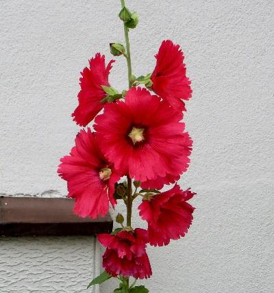 140714-我が家の花-1