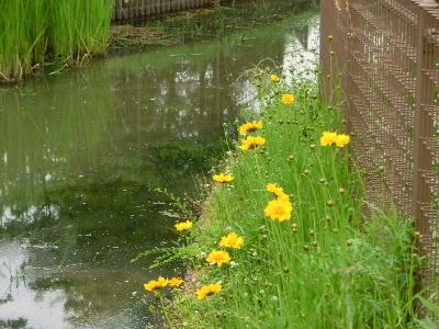 140715-船渡池公園の黄色い花-1