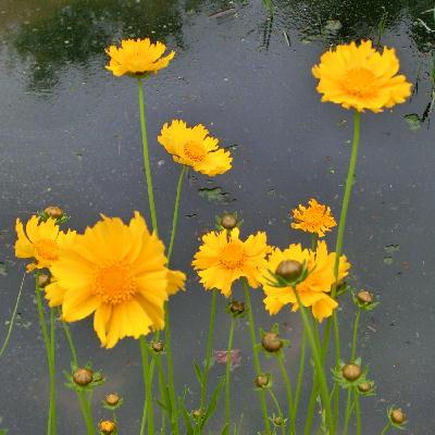 140715-船渡池公園の黄色い花-2