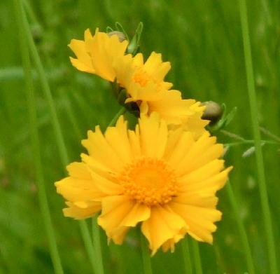140715-船渡池公園の黄色い花-3