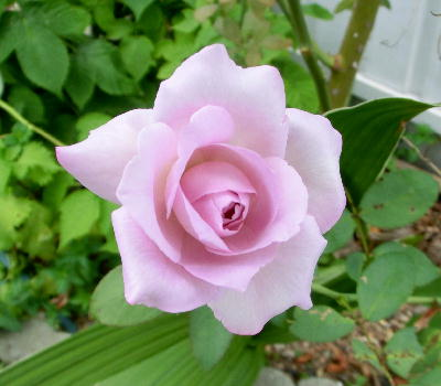 140806-わが家の花ー-3