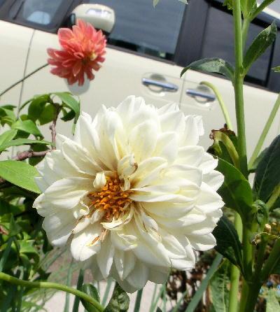 140806-わが家の花ー-2