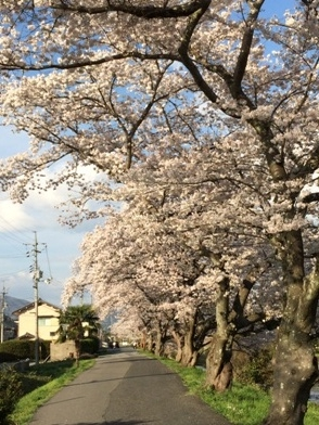 桜 (12)