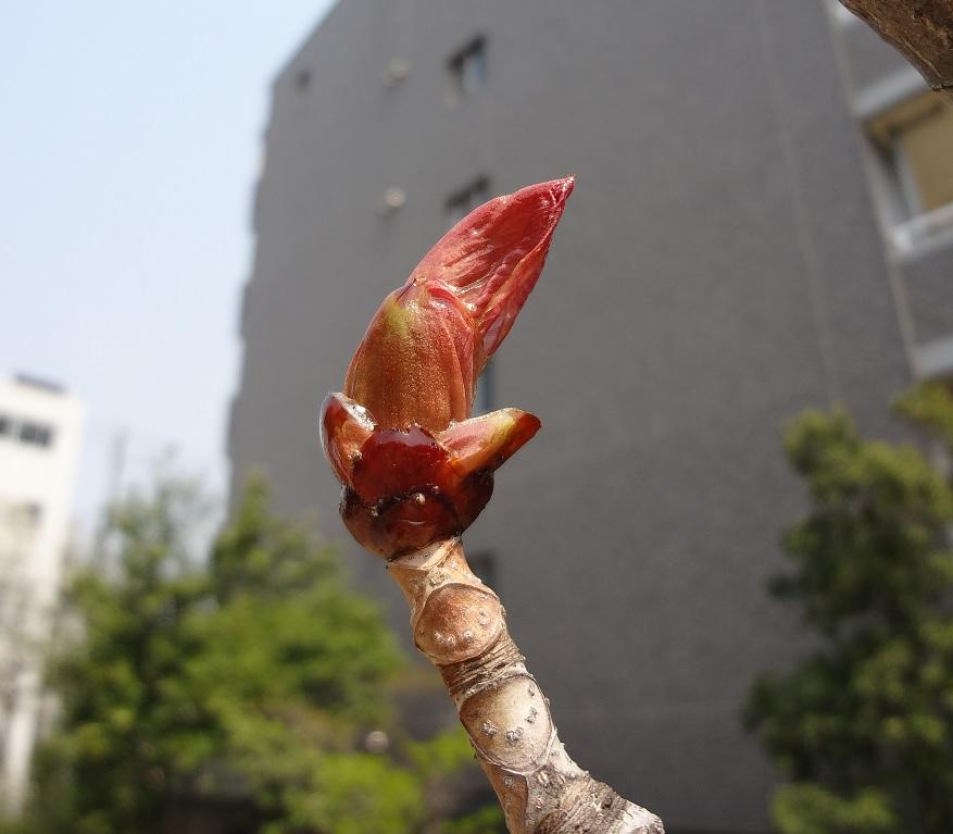 トチノキ芽