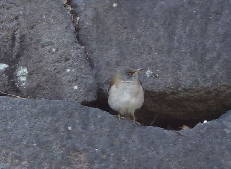 石垣の間の小鳥も梅を見ていた