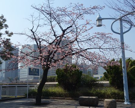 永代橋ぎわの桜満開