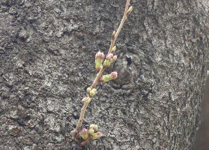東照宮の桜のつぼみ
