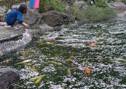 落花の池の鯉