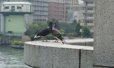 鳩のラブシーン