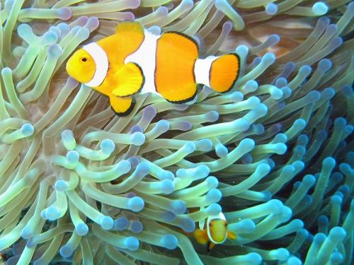 Common_clownfish.jpg