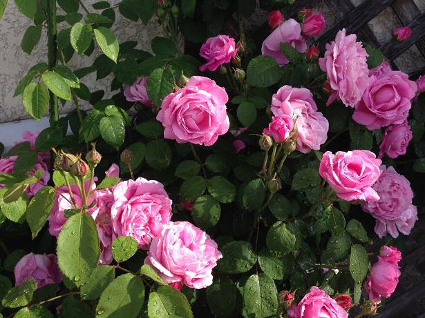 2014 5 mary rose