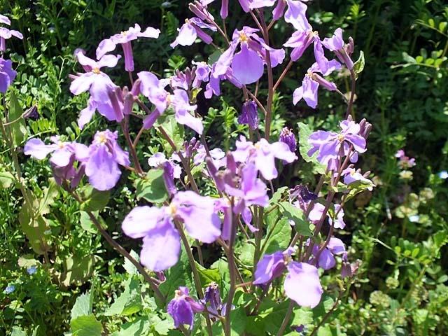 紫花菜(むらさきはなな)(98199 byte)