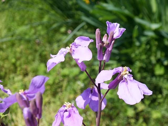 紫花菜(むらさきはなな)(48471 byte)