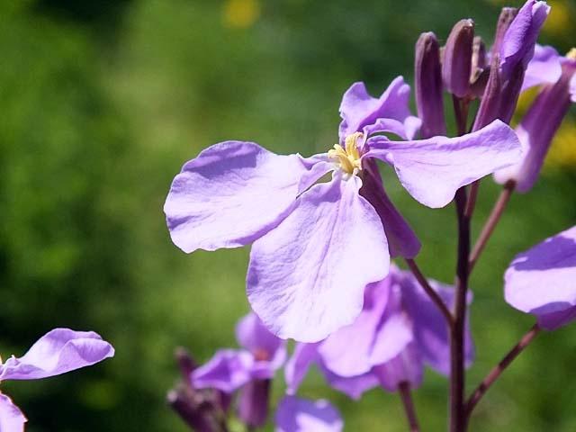 紫花菜(むらさきはなな)(38782 byte)