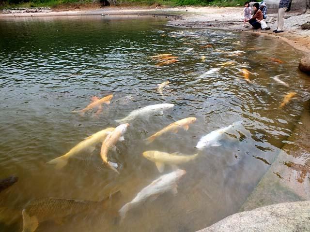 大池の鯉(65852 byte)