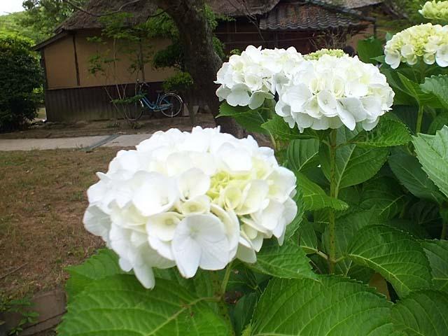紫陽花(あじさい)(58474 byte)