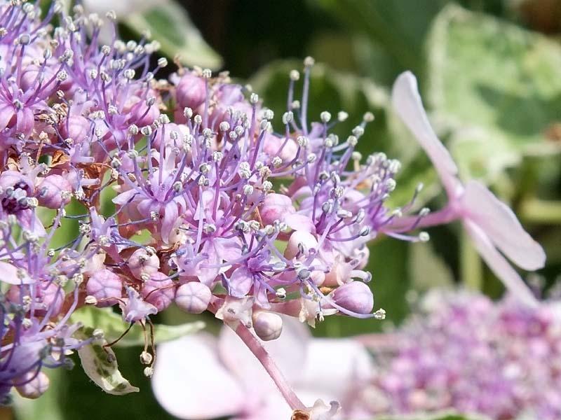 萼(がく)紫陽花(85054 byte)