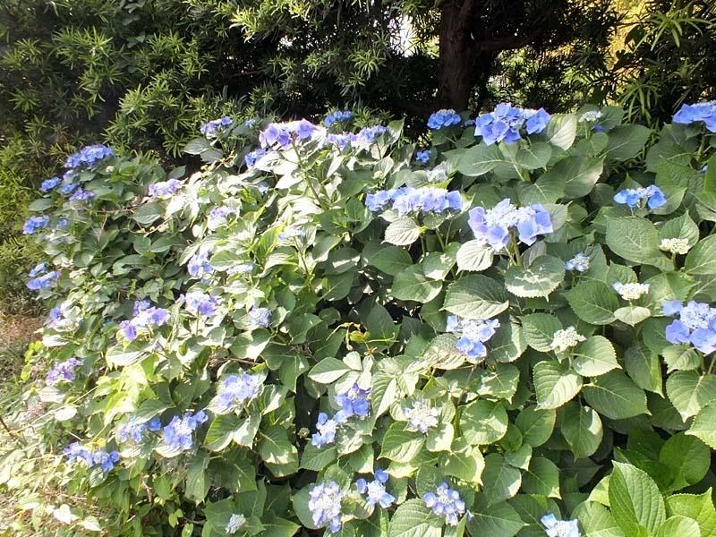 萼(がく)紫陽花(157856 byte)