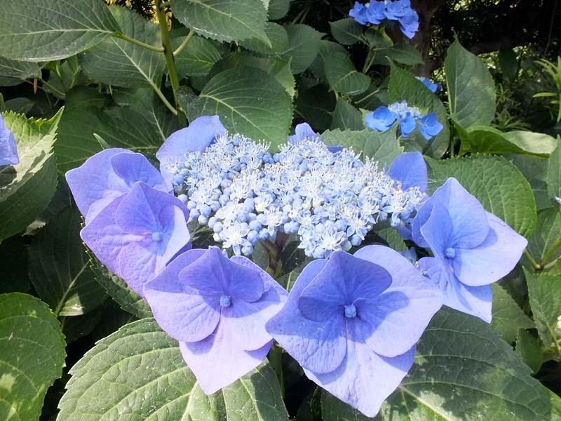 萼(がく)紫陽花(96923 byte)