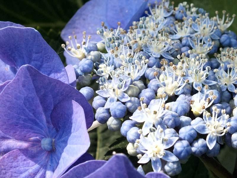 萼(がく)紫陽花(88426 byte)